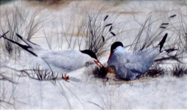 Artic Terns watercolor painting Zoras Garden Lore Stephan